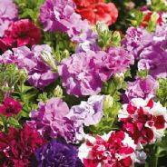 Petunia F1 Double Duo Mix - 30 Pelleted seeds